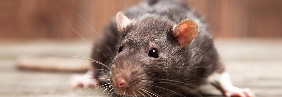 Rat in search of food - a problem for many property owners